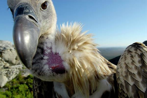 Falconiformes Photograph - Juvenile Cape Vulture by Peter Chadwick/science Photo Library