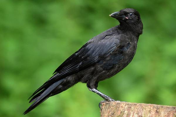 Corvidae Photograph - Juvenile Carrion Crow by Colin Varndell/science Photo Library