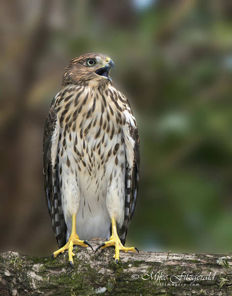 Photograph - Juvenile Cooper's Hawk by Mike Fitzgerald