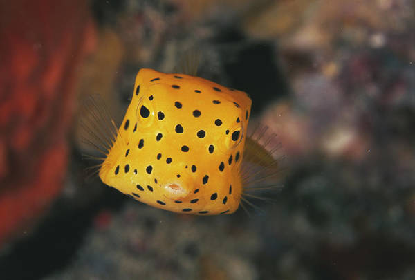 Cubic Wall Art - Photograph - Juvenile Cube Boxfish by Matthew Oldfield/science Photo Library