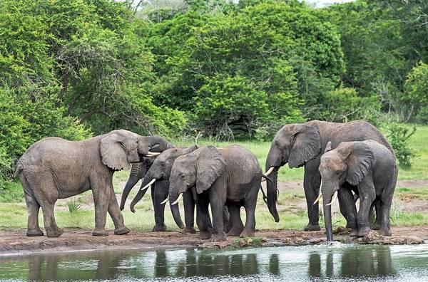 Behaviour Photograph - Juvenile Elephants Greeting An Older Bull by Tony Camacho/science Photo Library