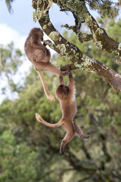 Baboons Photograph - Juvenile Gelada Baboons At Play by Peter J. Raymond