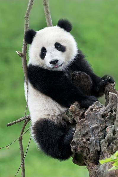 Ursidae Wall Art - Photograph - Juvenile Giant Panda by Tony Camacho