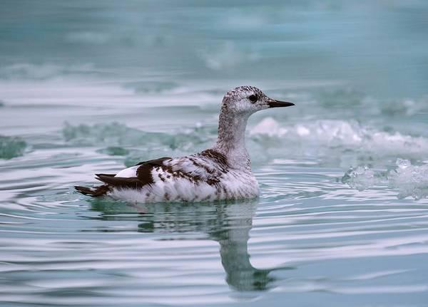 Alcidae Photograph - Juvenile Guillemot Swimming Amongst Ice by Peter J. Raymond