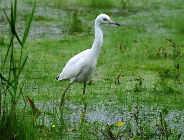 Photograph - Juvenile Little Blue Heron In Search Of Food by Dan Williams