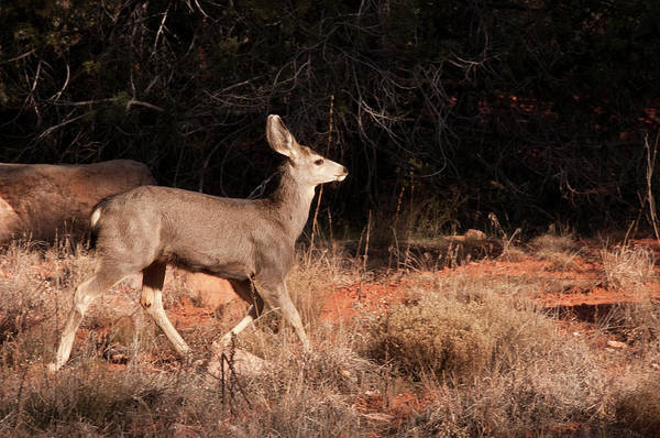 Boynton Photograph - Juvenile Mule Deer Running In Boynton by Jan and Stoney Edwards