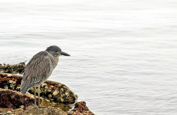 Photograph - Juvenile Night Heron  by JC Findley