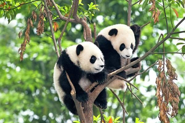 Carnivora Photograph - Juvenile Pandas In A Tree by Tony Camacho