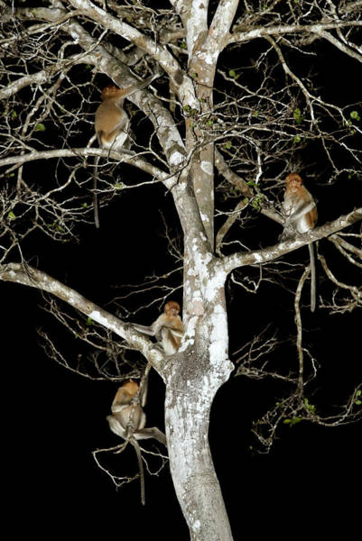 Nasalis Photograph - Juvenile Proboscis Monkeys by Sinclair Stammers/science Photo Library