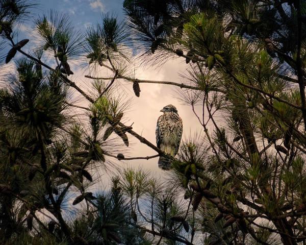 Photograph - Juvenile Red Shouldered Hawk by Jai Johnson