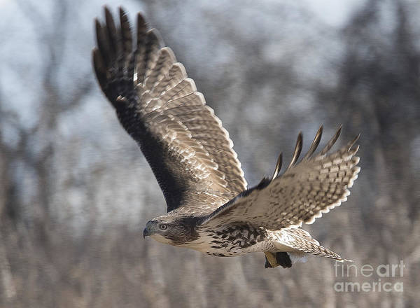 Photograph - Juvenile Red Tailed Hawk by Ricky L Jones