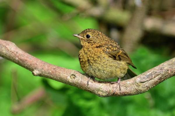 European Robin Photograph - Juvenile Robin by Colin Varndell/science Photo Library
