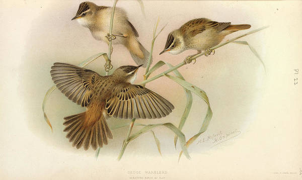 Monocotyledon Photograph - Juvenile Sedge Warbler by Natural History Museum, London