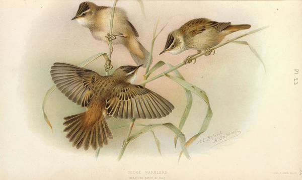 Passeriformes Photograph - Juvenile Sedge Warbler by Natural History Museum, London