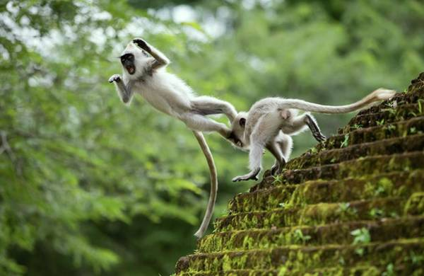 Old World Monkey Photograph - Juvenile Tufted Grey Langurs by Peter J. Raymond