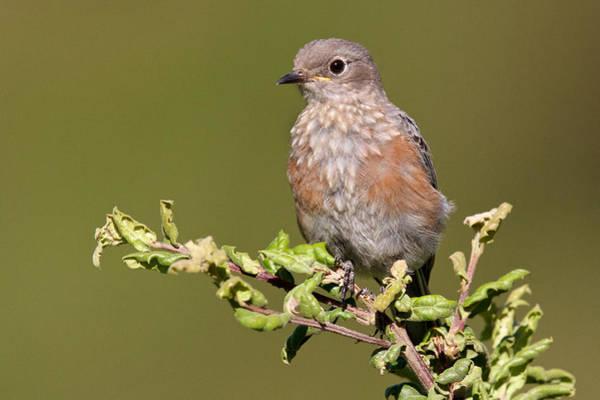 Photograph - Juvenile Western Bluebird by Steve Kaye