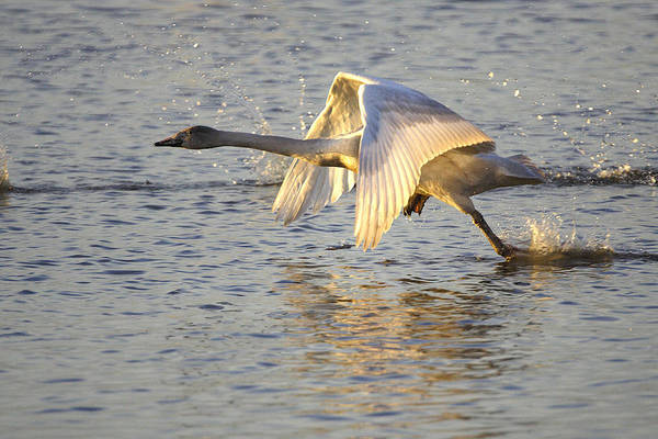 Photograph - Juvenile Whooper Swan Taking Off by Tony Mills