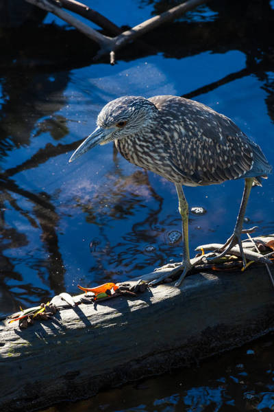 Photograph - Juvenile Yellow Crowned Night-heron by Ed Gleichman