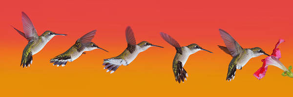 Photograph - Juvi Hummingbird Sequence by Leda Robertson