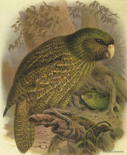 Wall Art - Painting - Kakapo by Dreyer Wildlife Print Collections
