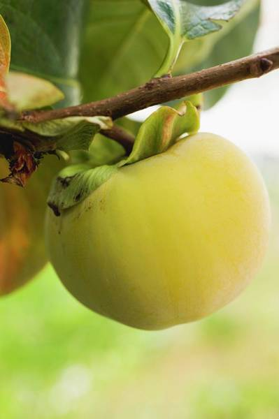 Wall Art - Photograph - Kaki Persimmon On The Branch by Foodcollection