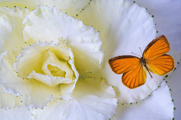 Kale Photograph - Kale And Orange Butterfly by Garry Gay
