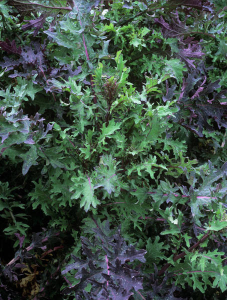 Kale Photograph - Kale (brassica Oleracea 'ragged Jack') by Geoff Kidd/science Photo Library