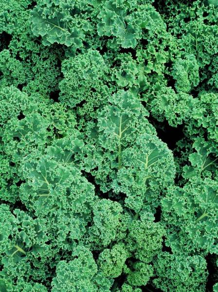 Kale Photograph - Kale (brassica Oleracea 'showbor') by Geoff Kidd/science Photo Library