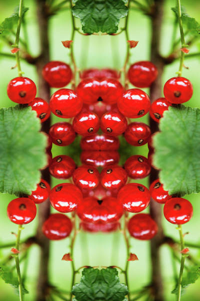 Currants Photograph - Kaleidoscope Arrangement Of Red Currant by Silvia Otte