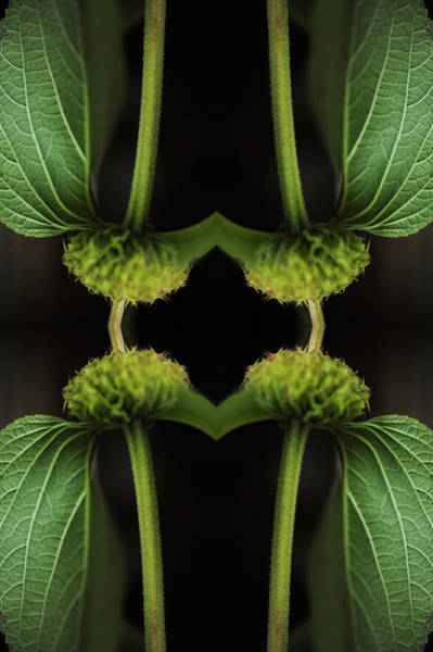 Ornate Photograph - Kaleidoscopic Composite Of Green Leaved by Silvia Otte