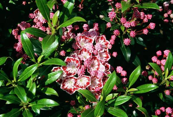Kalmia Photograph - Kalmia Latifolia Minuet. by Jennifer Fry/science Photo Library