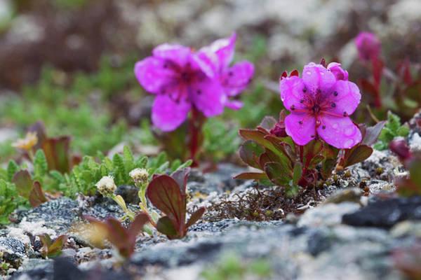Kamchatka Photograph - Kamchatka Rhododendron, Spring Rain by Ken Archer