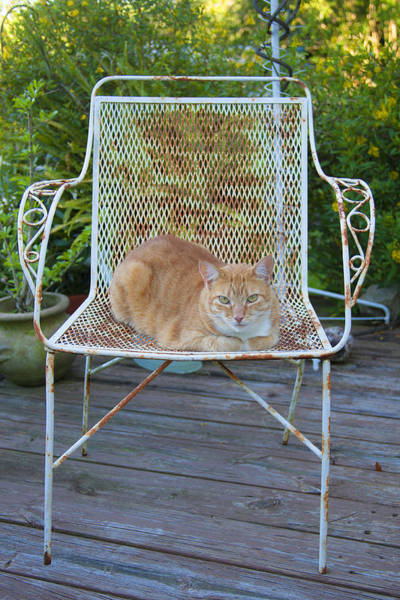 Orange Tabby Photograph - Kamo Kat Orange Tabby by Rich Franco