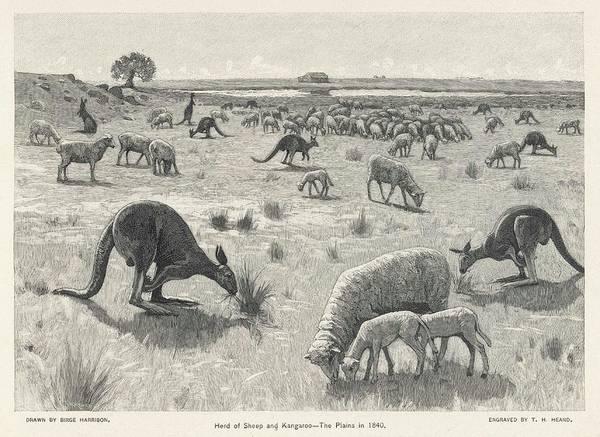 Kangaroo Drawing - Kangaroo Among Sheep On The  Australian by Mary Evans Picture Library
