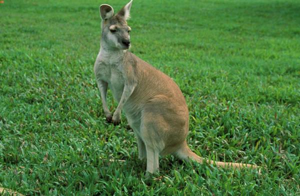 Kangaroo Wall Art - Photograph - Kangaroo by Animal Images