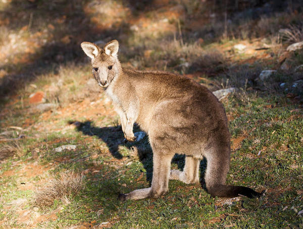 Skippy Wall Art - Photograph - Kangaroo - Canberra - Australia by Steven Ralser