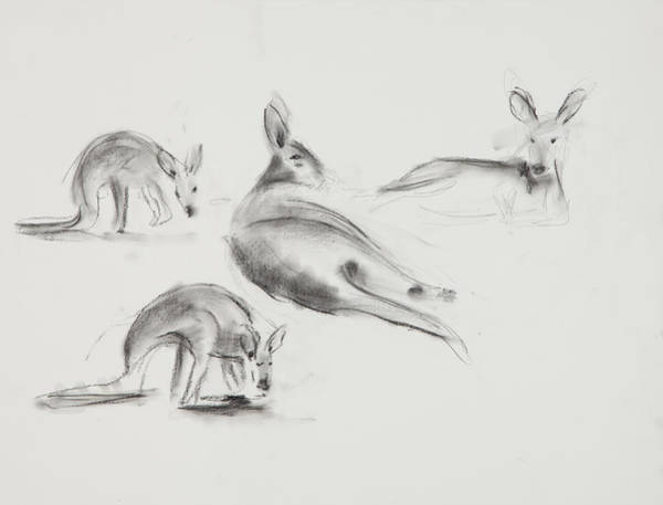 Kangaroo Drawing - Kangaroo Charcoal Study #3 by Greg Kopriva