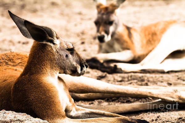 Skippy Wall Art - Photograph - Kangaroo In Australia  by Mariusz Prusaczyk