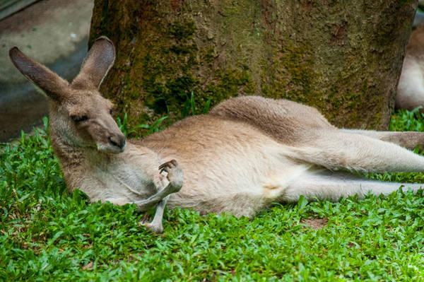 Photograph - Kangaroo Manicure  by Harry Spitz