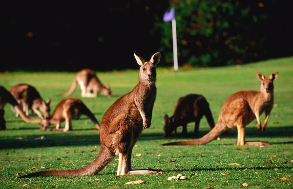 Grazing Photograph - Kangaroos Grazing On Golf Course by John W Banagan