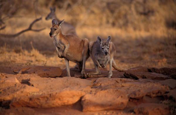 Kangaroo Wall Art - Photograph - Kangaroos In The Desert by Animal Images