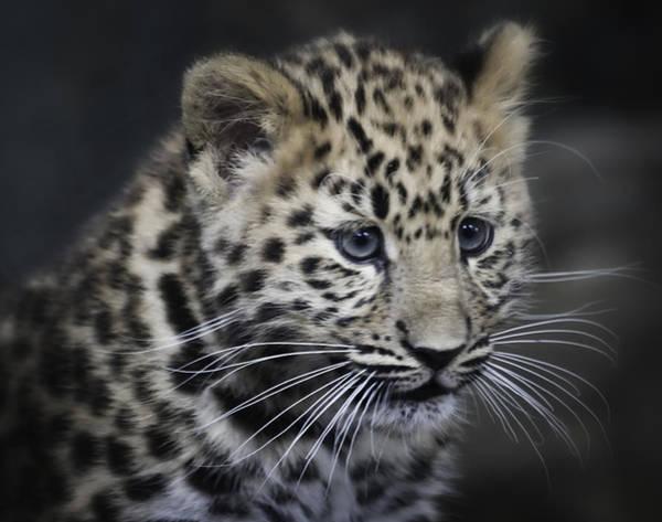 Kanika - Amur Leopard Portrait Art Print