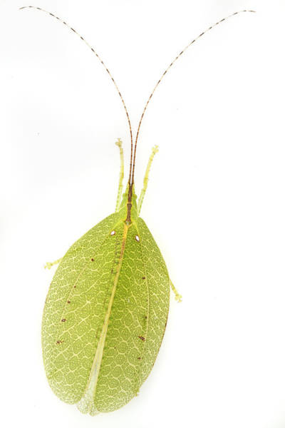 Photograph - Katydid Mimiking A Leaf Gorongosa by Piotr Naskrecki