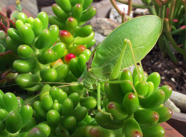 Photograph - Katydid On The Jellybean Succulents by Duane McCullough