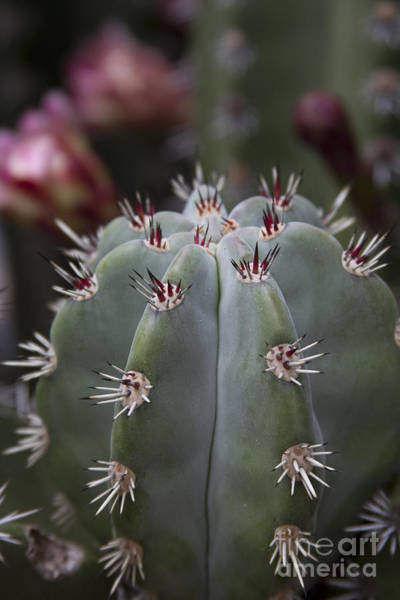 Photograph - Kaunoa Cactus Blooms by Sharon Mau