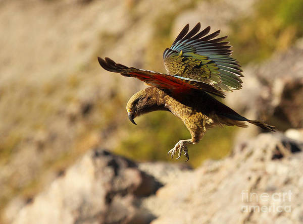 Wall Art - Photograph - Kea Dropping From Sky by Max Allen