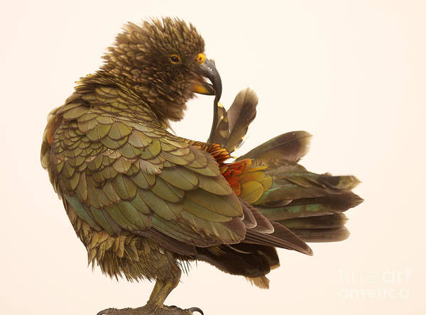 Wall Art - Photograph - Kea Grooming Tail by Max Allen