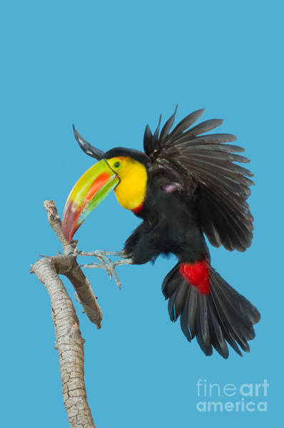 Ramphastidae Photograph - Keel-billed Toucan About To Land by Anthony Mercieca