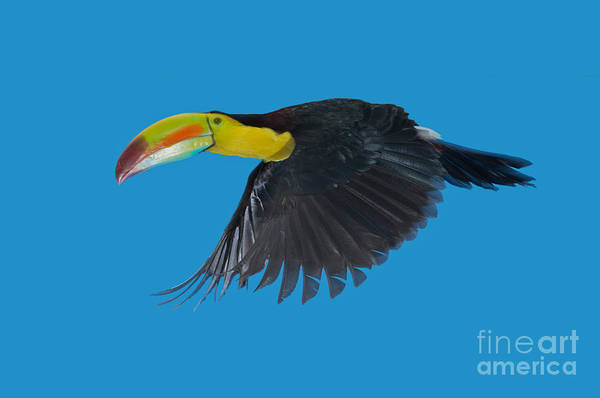 Ramphastidae Photograph - Keel-billed Toucan by Anthony Mercieca