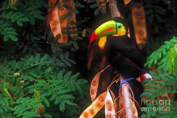 Keel-billed Toucan Photograph - Keel-billed Toucan by Art Wolfe